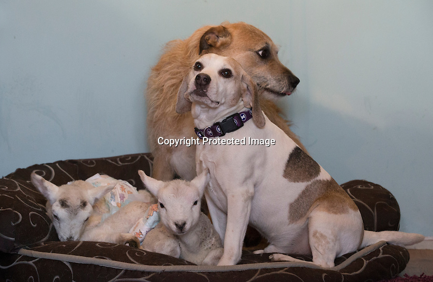 """21/04/15<br /> <br /> Draughtsman and Piper guard the young lambs.<br /> <br /> Two 'sheep dogs' are helping to pamper three orphaned lambs who think the dogs are their mum.<br /> <br /> The three orphaned  lambs, who wear nappies so they can have the run-of-the-house, like to snuggle up to the dogs and share their bed with them in the kitchen by the stove.<br /> <br /> Piper, an 11-year-old rhodesian ridgeback-cross and Draughtsman, an eight-year-old ex-hunting beagle, take turns looking after the week-old lambs who often try to suckle from their doting canine 'parents'.<br /> <br /> Melissa Ebbatson, 21, said: """"These three were quite poorly, so we brought them inside so we could look after them better and give them a bit more warmth. We put them in nappies so they don't make a mess in the house.  One of the dogs was having a snooze on his bed and the lambs just jumped in and joined him. And they've all become inseparable since then.<br /> <br /> """"The dogs like to clean the lambs' faces after they've had their bottles. And they enjoying romping around the place with them,"""" said Melissa who helps to run Crossgates Farm, with her family near Tideswell in the Derbyshire Peak District.<br /> <br /> """"They seem to really care about them and go straight to them if they start bleating – they even come to find us if they think they're hungry.<br /> <br /> """"We change their nappies at least four-times-a-day - the baby boys even need to wear two!<br /> <br /> """"They are between seven and eight days old, and we hope to get them living back outside again when they are strong enough in another ten days or so – that's as long as the dogs let us!<br /> <br /> """"We're probably all a bit bonkers here but it all seems normal to us"""", she added.<br /> <br /> All Rights Reserved: F Stop Press Ltd. +44(0)1335 418629   www.fstoppress.com."""