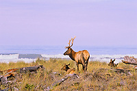 Small herd of Roosevelt Elk on ocean beach, Northern California.  Oct.