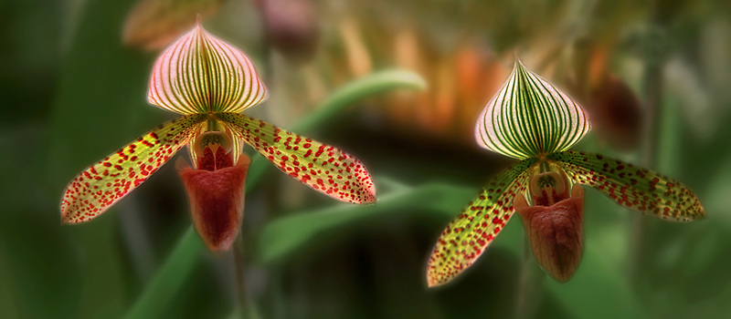 Orchids. Paph. Macabre