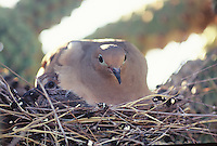 Morning Dove covers the young in the nest in a Teddybear Cholla Cactus on a spring day in southern Arizona