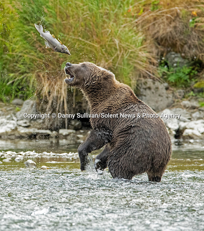 """The one that got away.<br /> <br /> A salmon has a miraculous escape from the jaws of a hungry brown bear in a river in remote Kodiak, Alaska.<br /> <br /> Danny Sullivan, 59, captured the moment the lucky fish was dropped by the bear.  Danny said, """"some bears chase salmon up the river, others eat the dying ones.  This bear decided to play with his food and the fish managed to escape after being dropped.""""<br /> <br /> """"There is plenty of other salmon in the river, so he will find more to eat.""""<br /> <br /> Please byline: Danny Sullivan/Solent News<br /> <br /> © Danny Sullivan/Solent News & Photo Agency<br /> UK +44 (0) 2380 458800"""