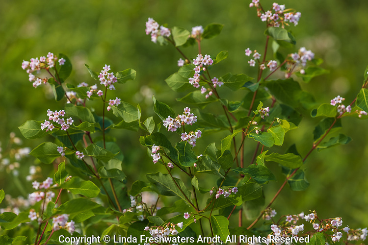 Spreading dogbane growing in a field in northern Wisconsin.