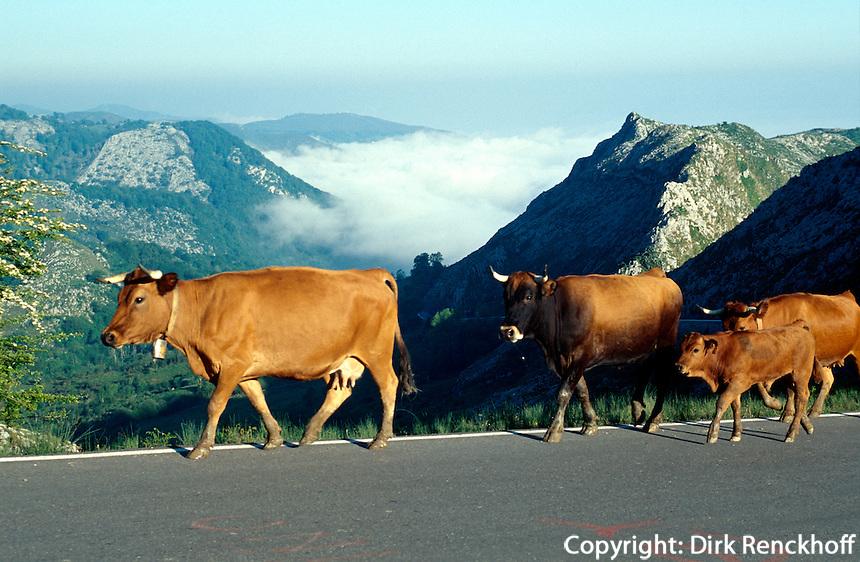 Spanien, Asturien, Picos de Europa, Viehauftrieb nahe Enol-See