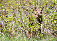 One morning I was out on my porch chatting on the phone when a cow moose paraded her week-old calf into the open.