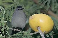 Gray Catbird, Dumetella carolinensis, adult with grapefruit, South Padre Island, Texas, USA