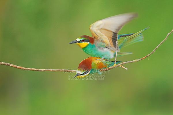 European Bee-eater (Merops apiaster), pair mating, Hungary, Europe