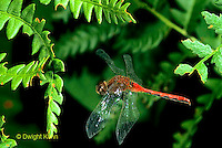 1O05-030b   Skimmer Dragonfly flying - White-faced Meadowhawk Skimmer - Sympetrum obtrusum