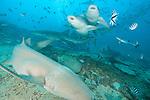 Beqa Lagoon, Pacific Harbor, Fiji; Tawny Nurse Sharks (Nebris ferrungineus) circling amongst the reef fish