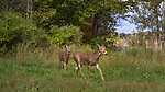 Buck and doe walking in a meadow in northern Wisconsin.