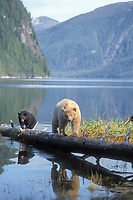 spirit bear, kermode, black bear, Ursus americanus, mother with cub walking on a log at high tide, rainforest area of the central British Columbia coast, Canada