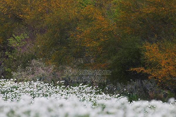 Field of White Prickly Poppy (Argemone albiflora) Huisache tree (Acacia farnesiana),Three Rivers, Live Oak County, Texas, USA, March 2007