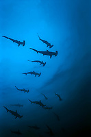 Hammerhead Dive Buddies, silhouette of scalloped hammerhead sharks, Sphyrna lewini, Cayman Islands, Caribbean, Atlantic, Grand Cayman