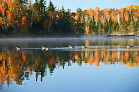 """""""Fall Paddlers""""<br /> <br /> This group of common mergansers agreed that it was a fine Fall morning for a paddle.  North Kawishiwi River in Boundary Waters Canoe Area Wilderness (BWCAW)."""