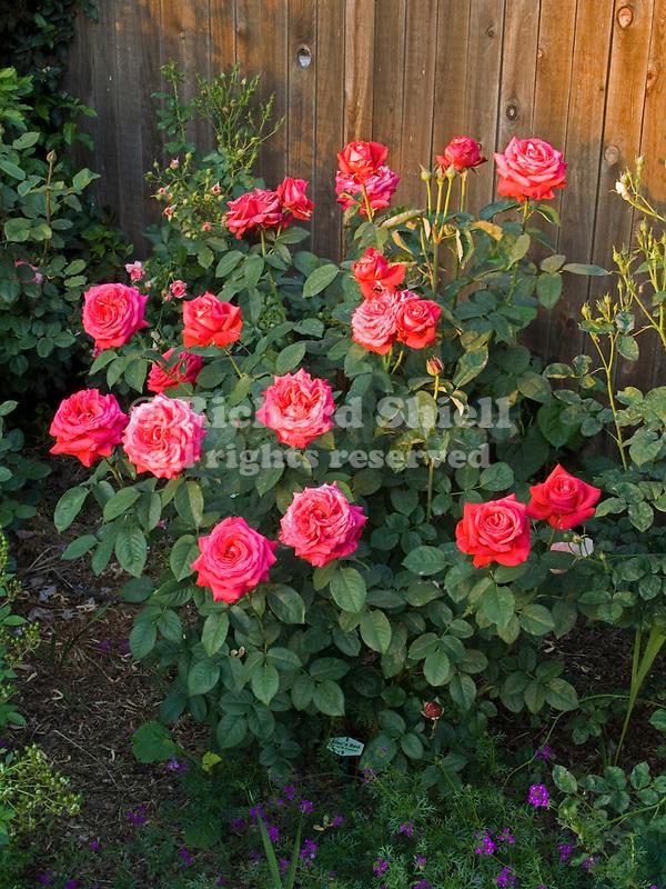 Alec's Red Rose bush, Rosa hybrid tea