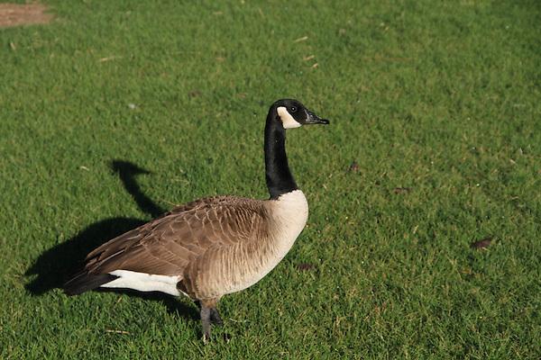Canada Goose at City Park, Denver, Colorado, USA. .  John leads private, wildlife photo tours throughout Colorado. Year-round.