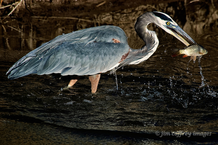 A Great Blue Heron catching a small fish in a diversion channel at Bosque del Apache National Wildlife Refuge.