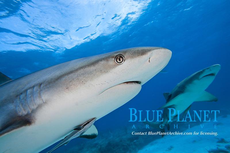 Caribbean Reef Shark, Carcharhinus perezii, with a lemon shark in the background, Bahamas.