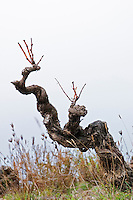 Domaine Grand Guilhem. In Cascastel-des-Corbieres. Fitou. Languedoc. Vines trained in Gobelet pruning. Old, gnarled and twisting vine. The vineyard. France. Europe.