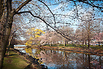 Cherry Blossoms on the Charles River, Back Bay, Boston, MA