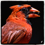 This is an image under Copyright © 2021 by Tom Priddy, Greer, S.C. Not to be used or reproduced without written permission. <br /> <br /> nature, birds, birdsofinstagram, birdwatching, backyardbirds, wildlifephotography, birdphotography, birding, wildlife, backyard birds, bird portrait<br /> <br /> Note that all images will be printed as squares, regardless of paper size chosen.