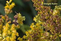 AM01-527z  Ambush Bug camouflaged on goldenrod, Phymata americana