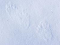 Pine marten tracks found near Old Faithful.