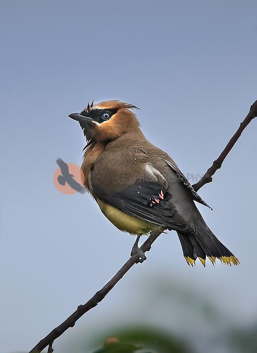 Cedar Waxwing on a perch