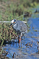 Yellow-crowned Night Heron, with fiddler crab in bill, Island Beach State Park, New Jersey
