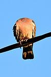 Headless pigeon by Romain Doucelin