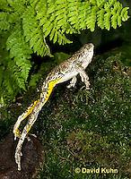 1219-1006  Frog Jumping, Eastern Gray Treefrog (Grey Tree Frog), Hyla versicolor  © David Kuhn/Dwight Kuhn Photography
