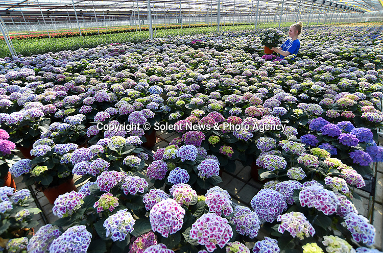 """Pictured:  Alexandra Paton checking the stock of Tivoli Hydrangeas.<br /> <br /> Spring has sprung earlier than usual at the family run Pinetops Nurseries in Lymington, Hants.  The nurseries, established in 1959 by the Paton family, are currently selling around 20,000 plants per week compared to usually around 7,000 for this time of year. Twins, Stuart and Ian, nurture and tend to the plants, whilst Rory and his mum Jean sell them. <br /> <br /> The greenhouse is almost completely automated with screens, ventilation, heating, irrigation, bringing in tables (large rolling trays filled with plants), which are all controlled centrally.  Staff are required to keep a careful eye on all of the plants, whilst also wrapping and packing them onto lorries to be delivered.  <br /> <br /> Some of the nursery workforce come from abroad, returning annually during key busy periods.  Despite Covid quarantining procedures causing a couple of issues where staff found it hard to return from Europe and were delayed, they are now currently almost fully staffed. To assist in this peak season Alexandra Paton, 19, has come back during her Easter break from studying Computer Science at Durham University. <br /> <br /> Her father, Rory Paton said, """"The season has been brought forward, and demand is high due to a combination of factors, the weather has been lovely for a start. We have many new gardeners, who during the restrictions have re-engaged with their gardens and are keen to get going again.  With young plant and material supply problems in early January due to Brexit and Covid-19 freight problems there is a shortage of plants generally and demand for plants in Europe is equally as strong.""""<br /> <br /> """"Like many businesses, we found last spring ridiculously hard . This spring has brought insatiable demand for plants with shortage in supply a welcome change, whilst it will take time to rebuild it is lovely to be busy.  It's very welcome to see some green shoots!  As we're really busy """