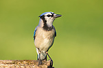 Blue jay perched on a log in northern Wisconsin.