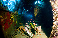 Coral growth inside the wreck of the Lesleen M freighter, sunk as an artificial reef in 1985 in Anse Cochon Bay, St. Lucia, Caribbean, Atlantic