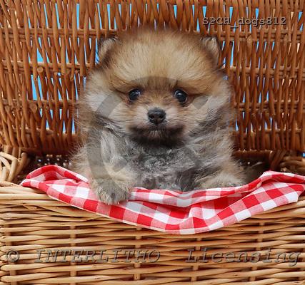 Xavier, ANIMALS, dogs, photos, SPCHDOGS812,#A# Hunde, perros