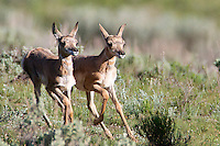 Training to be the fastest land animal in North America, these pronghorn twins start to step out.