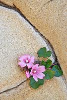 Pink Wildflower growing in sandstone formation. Salt Point State Park. California