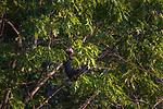 Tom turkey roosting in an oak tree.