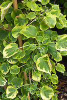 Hydrangea anomala subsp. petiolaris Mirranda, climbing hydrangea vine with variegated leaves
