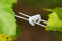 The vineyard in the garden behind the house. A plastic clip that holds together two of the metal wires that support the vine. These are put in place and removed manually every year., Champagne Jacquesson in Dizy, Vallee de la Marne, Champagne, Marne, Ardennes, France, low light grainy grain