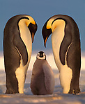 Emperor Penguins and chick, Antarctica<br /> <br /> In the golden 2:30 a.m. glow of the arctic summer, two adults hover over their twelve-week-old chick.