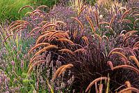 Pennisetum advena (aka P. setaceum) 'Rubrum' purple foliage fountain grass flowering in California meadow garden with lavender