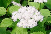 Viburnum Blue Muffin aka Viburnum dentatum Christom in spring bloom