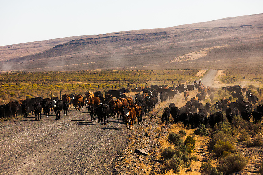 Two cowboys drive cattle down the Fields-Denio road in Southeast Oregon.