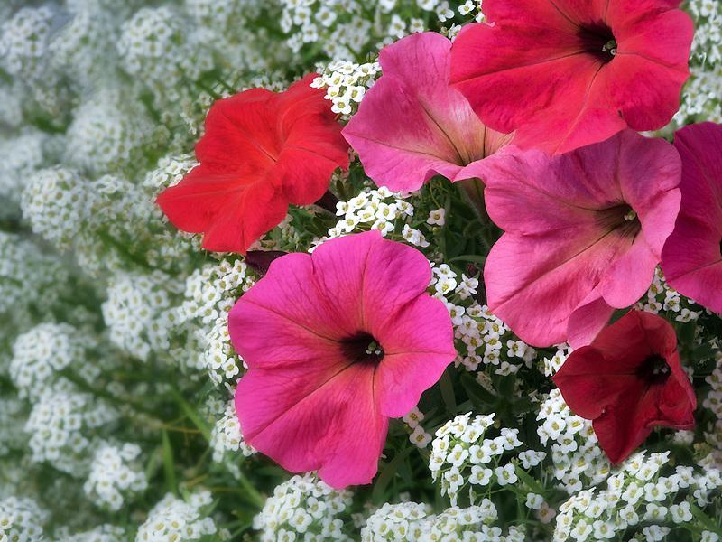 Close up of red petunias and alysum flowers. Oregon