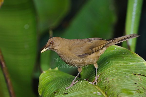 Clay-colored Robin, Turdus grayi, adult perched on Heliconia plant, Central Valley, Costa Rica, Central America