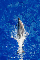 striped dolphin, Stenella coeruleoalba, leaping, La Gomera, Canary Islands, Spain, Atlantic Ocean