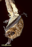 MA20-009a  Big Brown Bat - Eptesicus fuscus