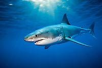 great white shark, Carcharodon carcharias, Guadalupe Island, Baja California, Mexico, Pacific Ocean