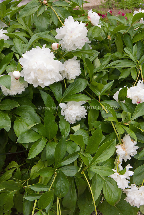 Paeonia peonies white peony with touches of red, Peony Festiva Maxima, fragrant