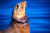 california sea lion, zalophus californianus, with net cutting into neck, monterey bay, california pacific ocean, national marine sanctuary